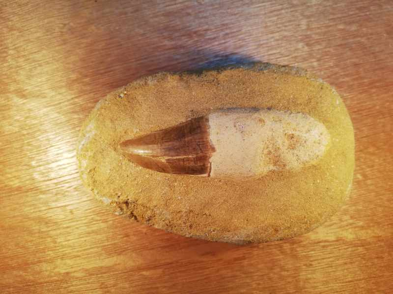 MOSASAUR TOOTH 115MM